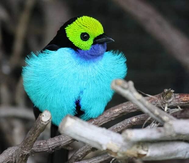 Второе название этого удивительного существа обитающего в тропических лисах Колумбии и Бразилии – «Семицветная птичка».