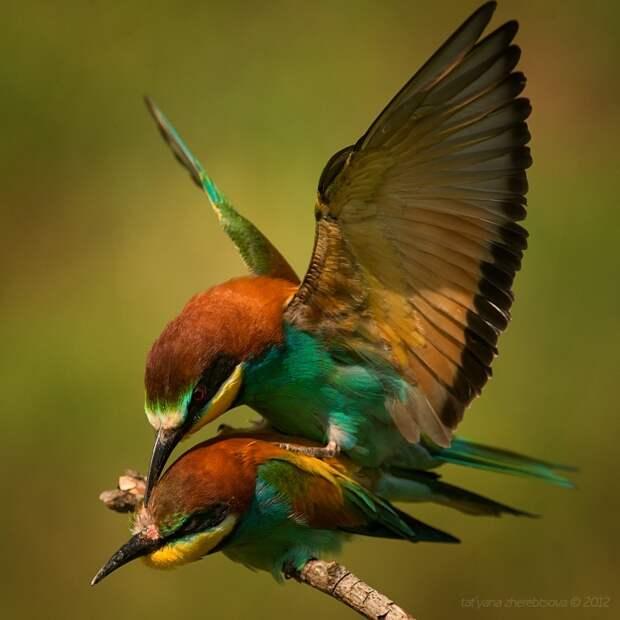 Золотистая щурка. Красивые фотографии красивой птицы.