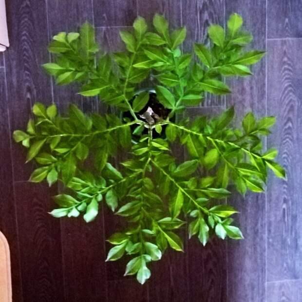 Аморфофаллус. Кусочек тропиков в квартире аморфофаллус, домашние растения, растениеводство, тропические растения