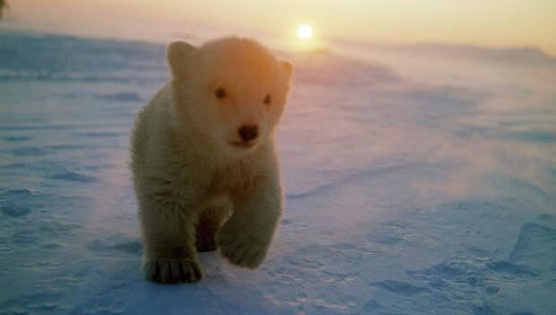 Медвежонок на острове Врангеля. Архивное фото