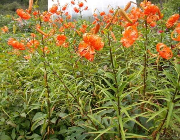 Мой опыт выращиваний тигровых лилий