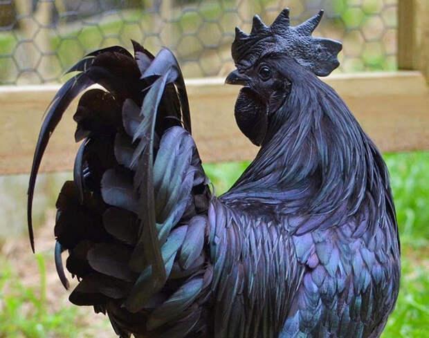Аям чемани: уникальная порода кур черного цвета