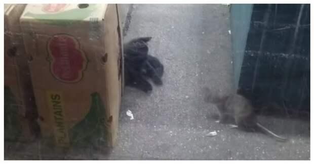 Нью-Йоркская крыса не испугалась кошки, преградившей ей путь видео, животные, конфилкт, кошка, крыса, нью-йорк, сша