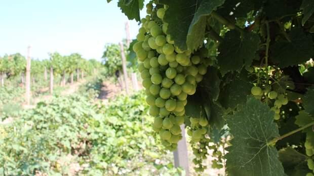 Виноделы России ждут закон о международной защите географических наименований товаров