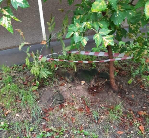 В старом пне на улице Софьи Ковалевской обнаружили осиное гнездо