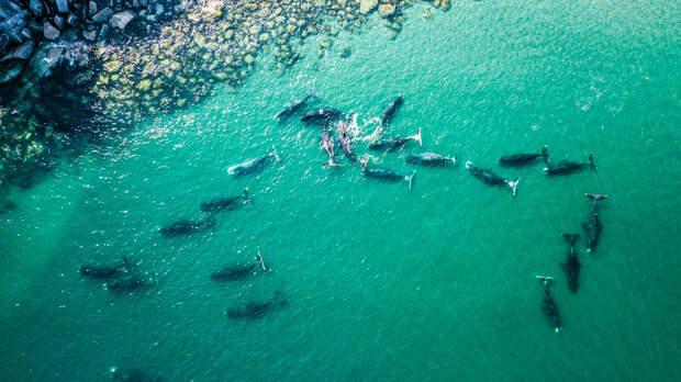 Гренландские киты. Фото взято из открытых источников.