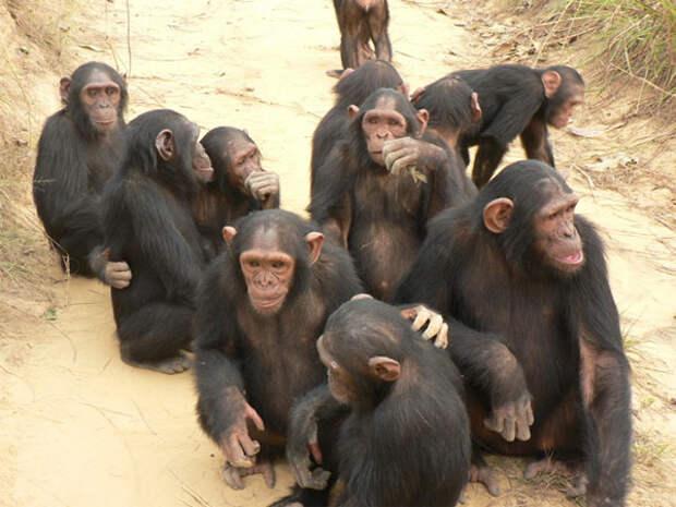 chimps_600