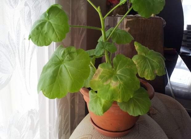 Почему у герани желтеют и сохнут листья: что делать и как устранить проблему?