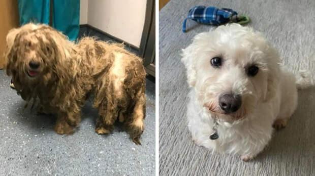 Спасенная на улице дворняга после стрижки оказалась породистым псом