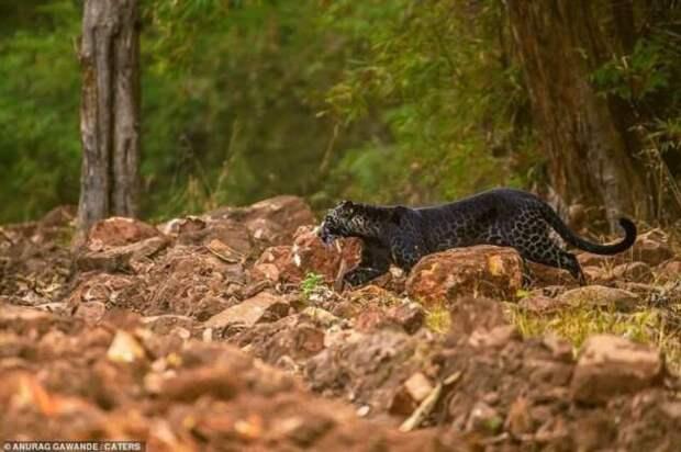 В Индии заметили редчайшего черного леопарда за охотой (6 фото)