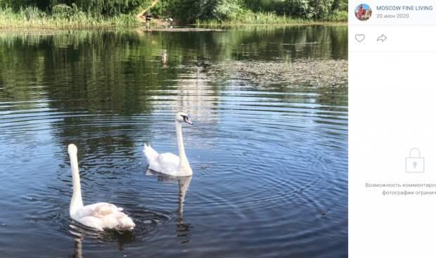 В ландшафтный парк «Митино» вернут лебедей