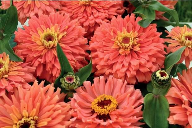 Циния для приусадебного участка: фото, виды и сорта, особенности посадки (75 фото)