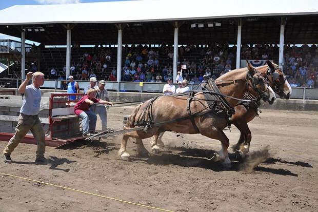 Брабансоны: Конь, который не пропускал день ног. Гора мышц, способная перевозить тяжелейшие грузы