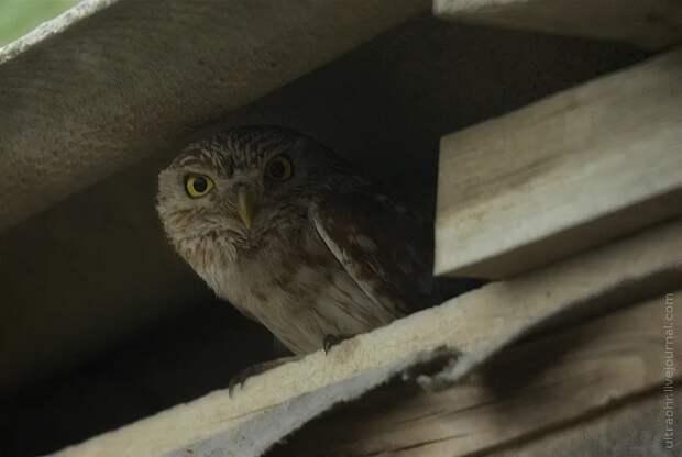 Домовый сыч: Социофоб и интроверт в перьях. Крошечная сова, которая часто селится у людей в домах