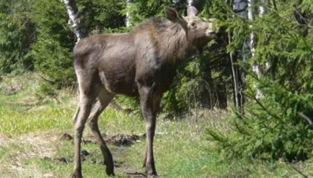 Жителей Подмосковья призвали не трогать новорожденных лосят в лесах