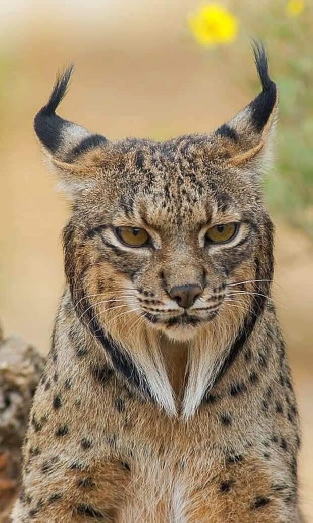 Одно из самых редких животных семейства кошачьих