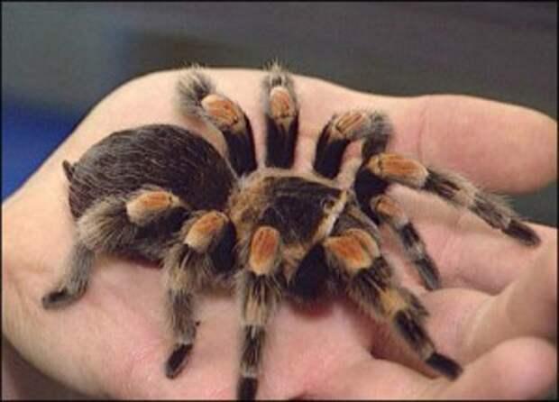 необычные домашние животные, тарантулы