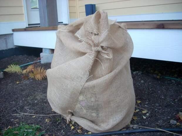 Как правильно укрыть гортензию на зиму?