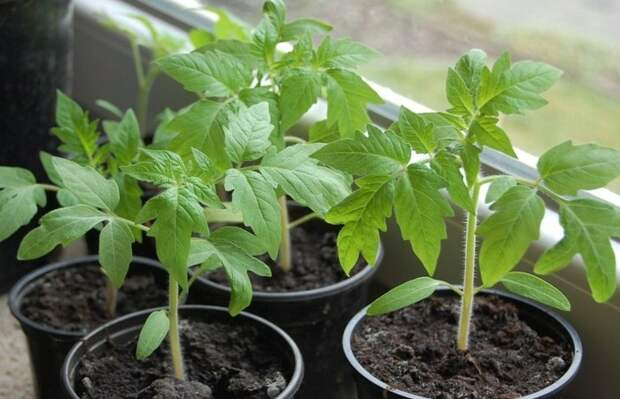 Способ, чтобы томаты росли в 2 раза лучше
