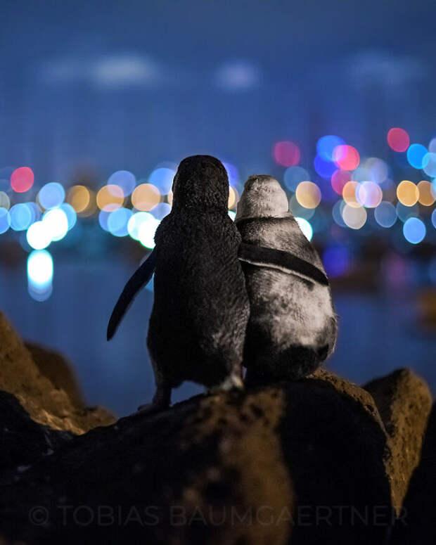 Фото обнимающейся пары пингвинов-вдовцов стало лучшим снимком года