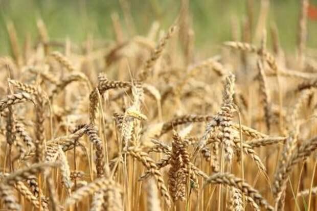 Пошлина на экспорт пшеницы из РФ с 14 июля снизится до $39,3 за тонну