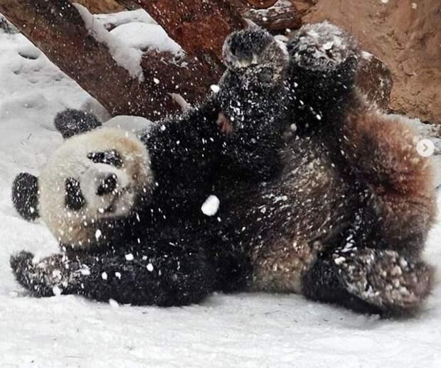 Панда Диндин из Московского зоопарка устроила бурные игры в снегу
