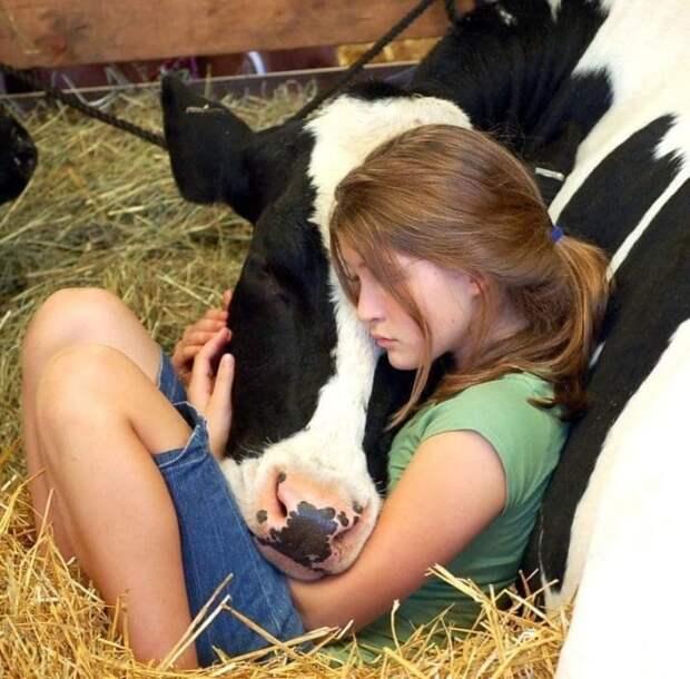 16. Попросту говоря — они вылитые собаки. животные, корова, коровы, милота, позитив, собаки, факты