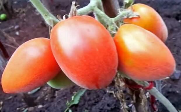 Пушистые сорта томатов для теплицы и открытого грунта