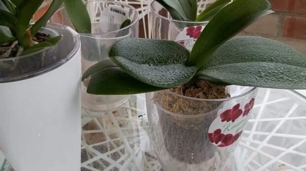 Аптечные копеечные таблетки, которые спасут орхидеи от болезней