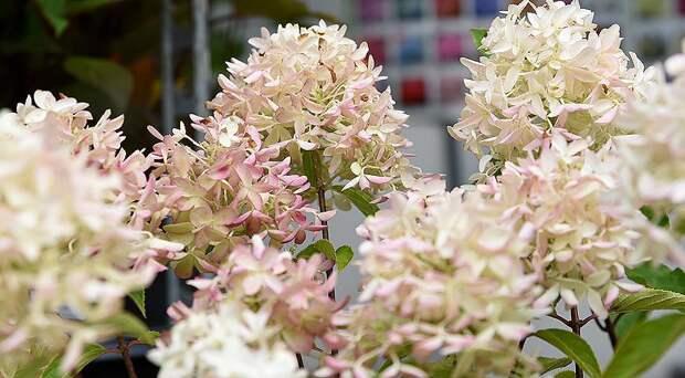 Сорта гортензии метельчатой самые красивые и устойчивые для посадки в саду