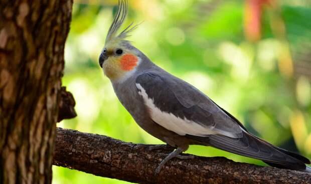 Попугай корелла – розовощекий певец.