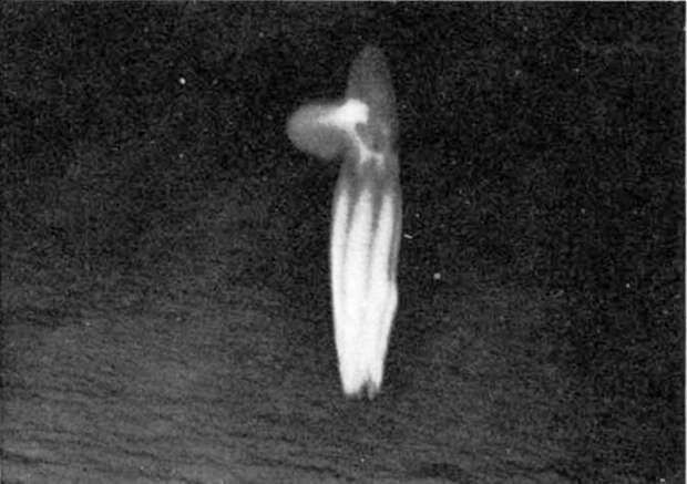 Чем озадачил учёных самый глубоководный осьминог?