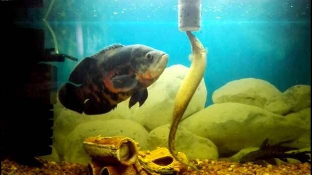Мастацембел и Астронотус - два друга в одном аквариуме!