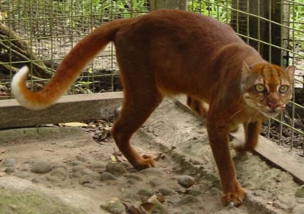 Калимантанская кошка дикие кошки, животные, кошки, природа