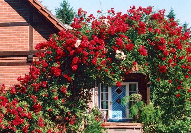Садовые арки, увитые розами в дизайне участка