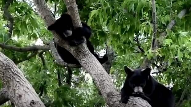Спасенные канадскими зоозащитниками медвежата подружились и вместе ушли в лес. ФАН-ТВ