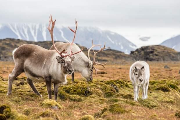 Санта не приедет: пастуху приказали убить 125 оленей, чтобы сохранить пастбища