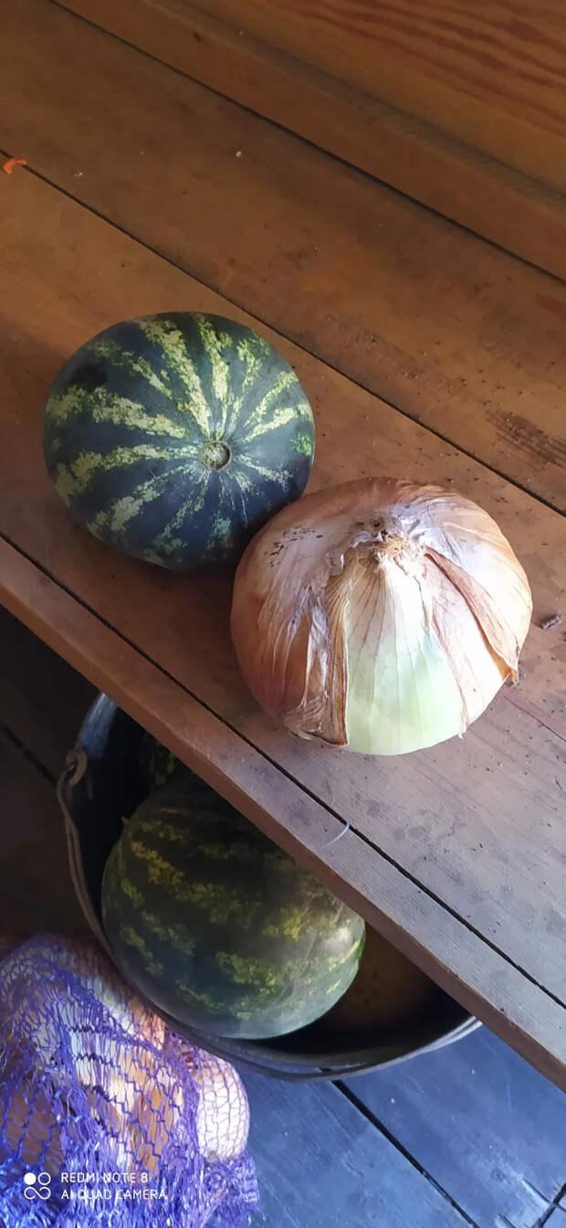 Лук большой или арбуз маленький? Рекордный урожай, Урожай, Лук, Длиннопост