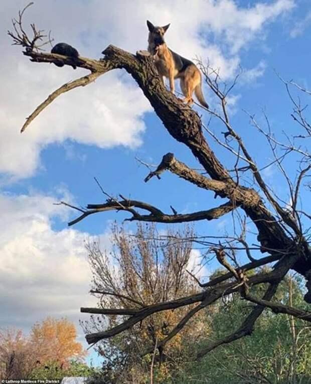 В азарте погони за кошкой овчарка сама не заметила, как забралась на верхушку дерева