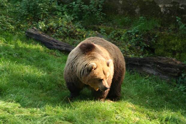 На Камчатке медведи обглодали вертолетную площадку