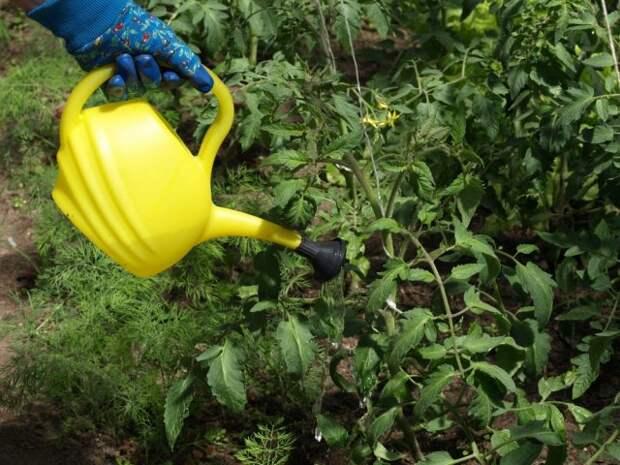 Полив растений триходермой