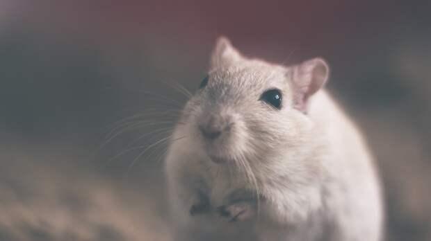 Заболеваемость мышиной лихорадкой в Удмуртии снизилась в 3 раза