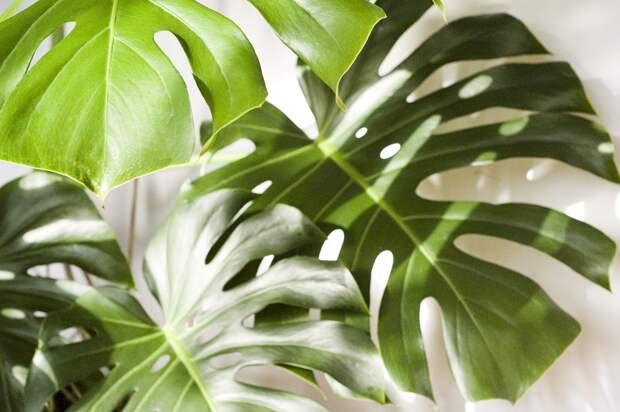 Редкое комнатное растение продают за £13 тыс.