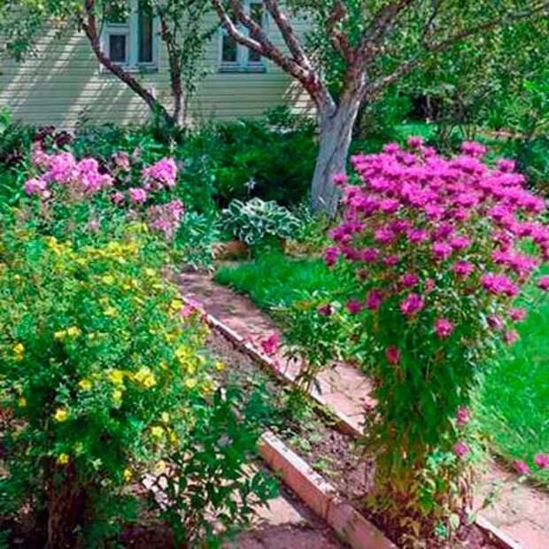 Многолетний садовый цветок Монарда (Monarda)