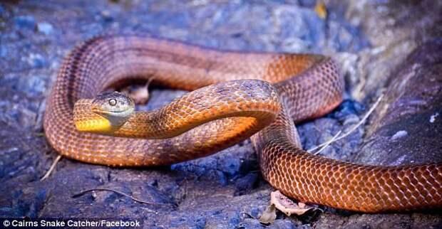 Змееловы вытаскивают десятки опасных змей из домов австралийцев после циклона австралия, змеи, опасность, стихийное бедствие, циклон