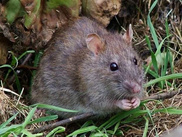 Учёные нашли причину вымирания «облачных» крыс с пушистыми хвостами