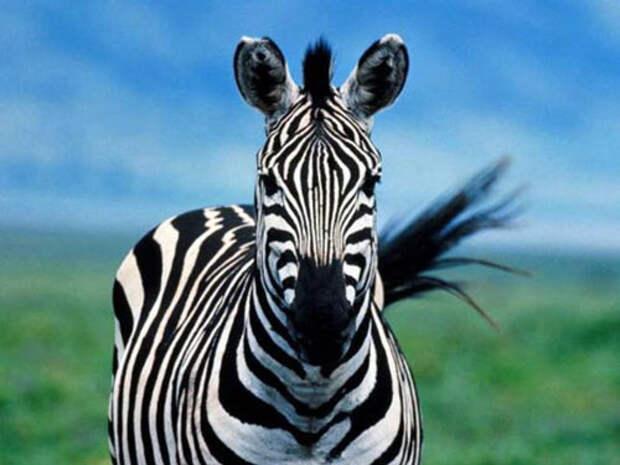 В Симферополе молниеносно клонировались «зебры» - к чему бы это?