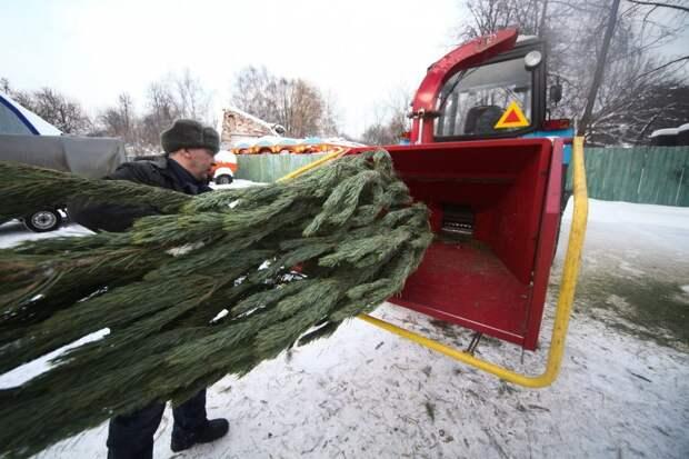 Все собранные деревья будут переработаны в щепу / Фото: Агентство «Москва»