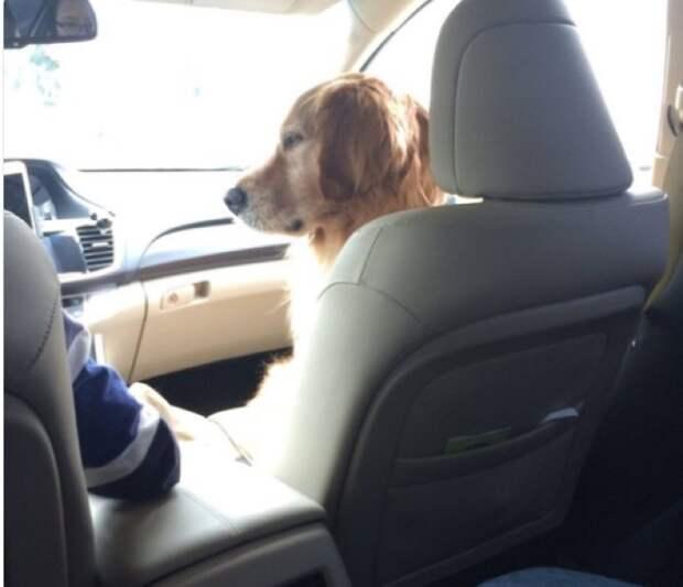 Всегда сидит на кресле рядом с водителем животные, жизнь, мир, роскошь, собака, удобство, фото