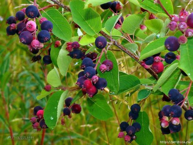 Ирга - полезный и вкусный плод. Выращивание, лечебные свойства, ирга в кулинарии - Подружки || Древесина ирги свойства